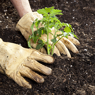 Hands with gloves planting tomato plant